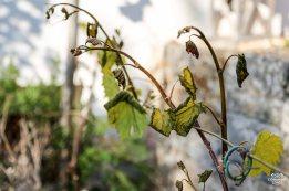170420_Garten-Reben_Frost_web-2